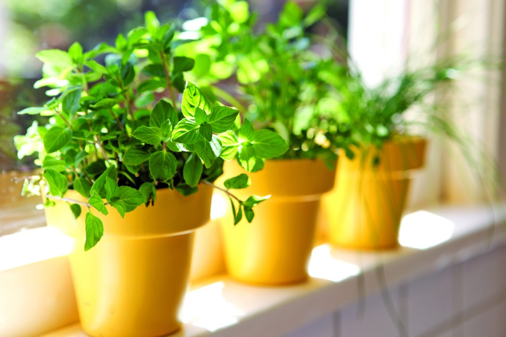 row of potted fresh herbs