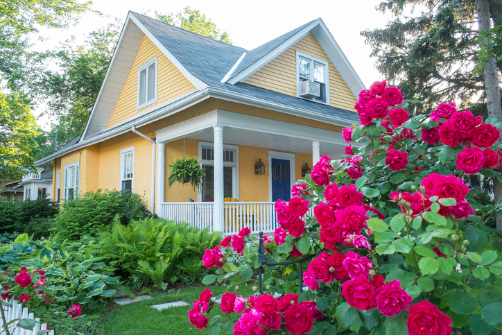 Pink_Rose_Bush_in_Front_of_a_Beautiful_Yellow_House