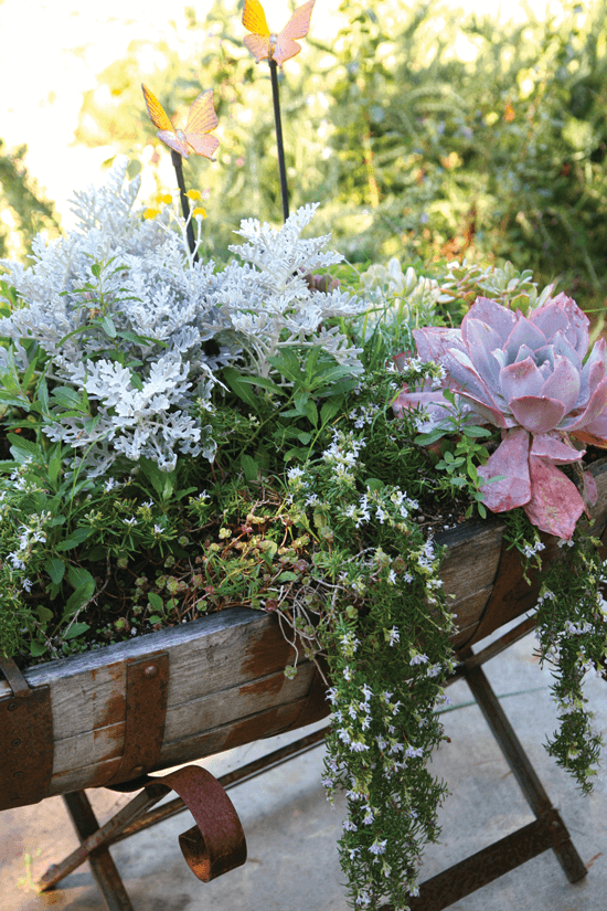 Green herbs, snowy Dusty Miller plants and a red succulent represent a selection of fall flora that can add color and freshness to your décor.