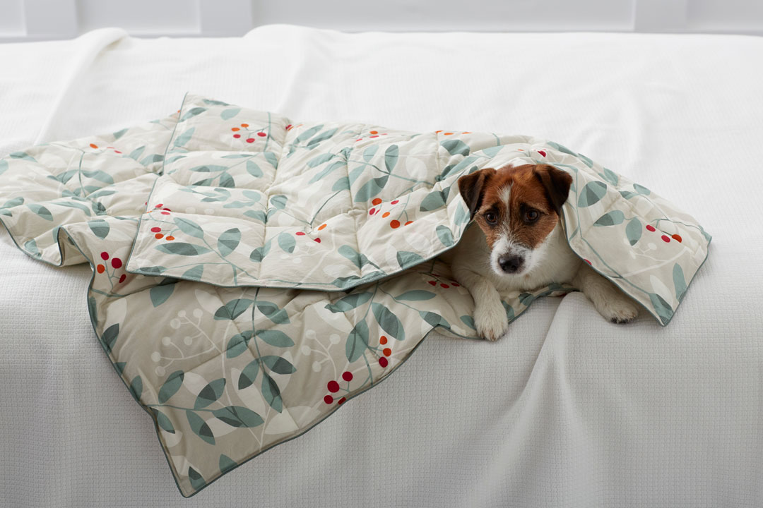 A Jack Russel Terrier snuggled up in a holiday-themed comforter from The Company Store