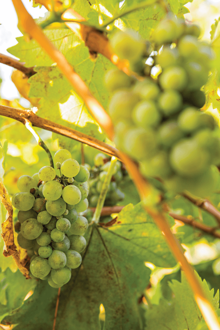 Lovely shot of grapes growing from the vine.