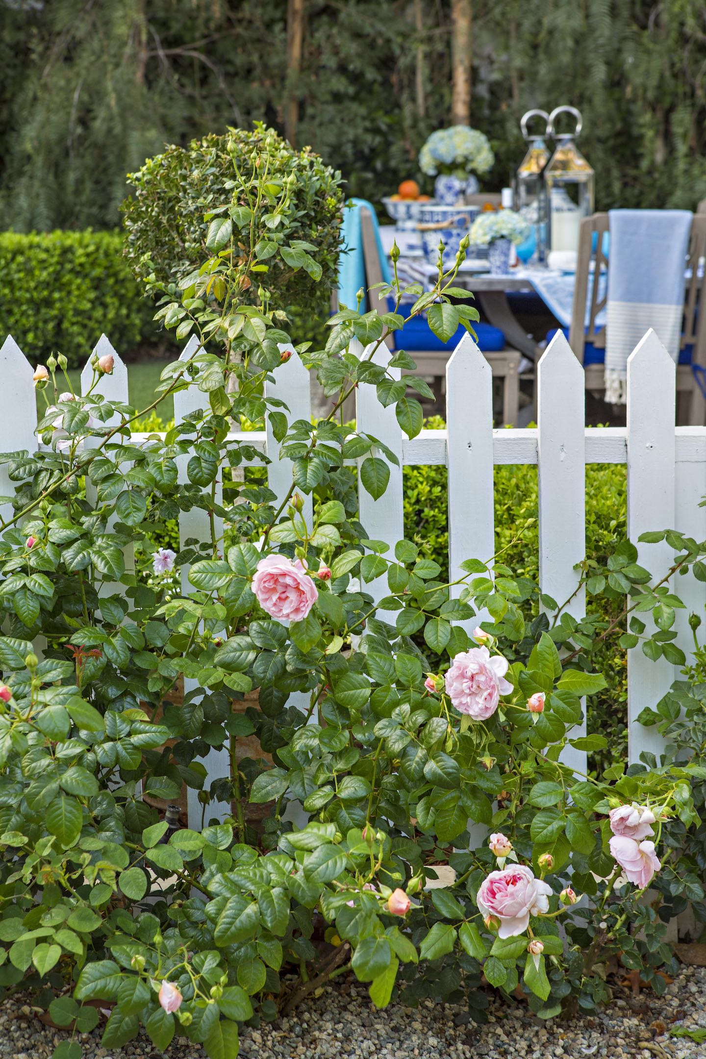 White picket fence with pink roses growing in front of it.