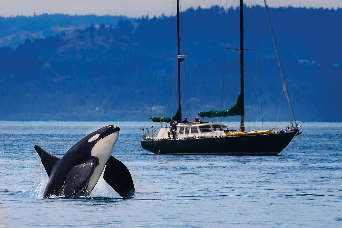 An Orca coming up out of the water with a boat sailing in the background.