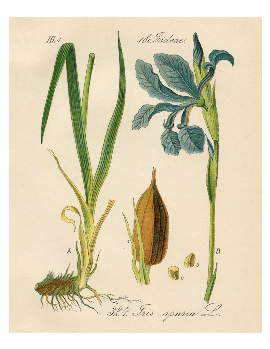 vintage botanical print of blue iris