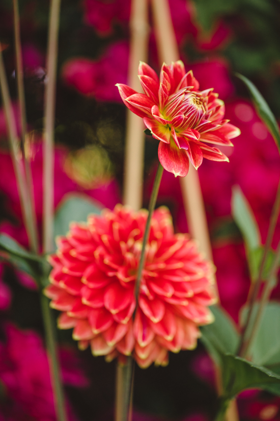 Red dahlias with a yellow edged accent.
