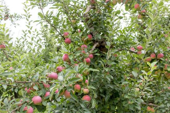 Ripe apples hanging from tree branches.