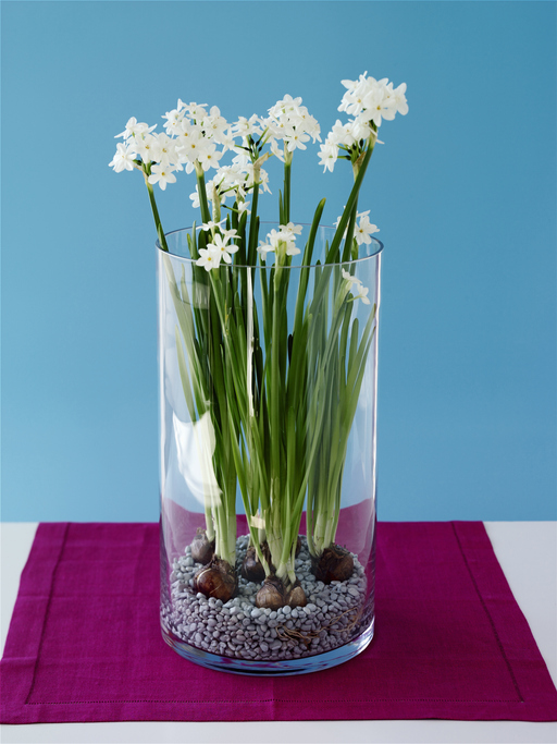 Paperwhite Daffodils (Narcissus Papyraeus) in vase, close-up.