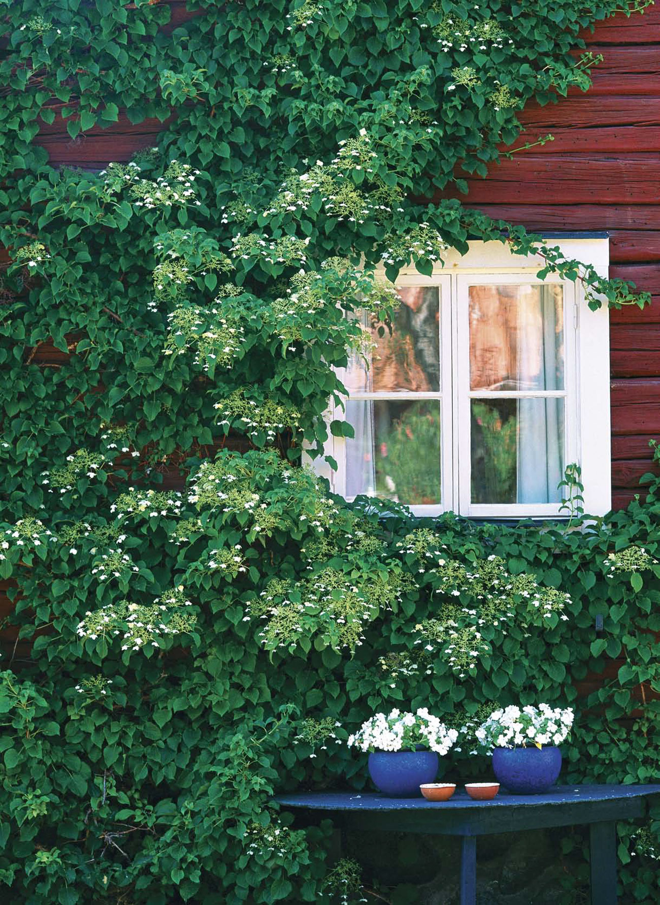White cottage window peaking out form under a large exterior wall of climbing ivy.