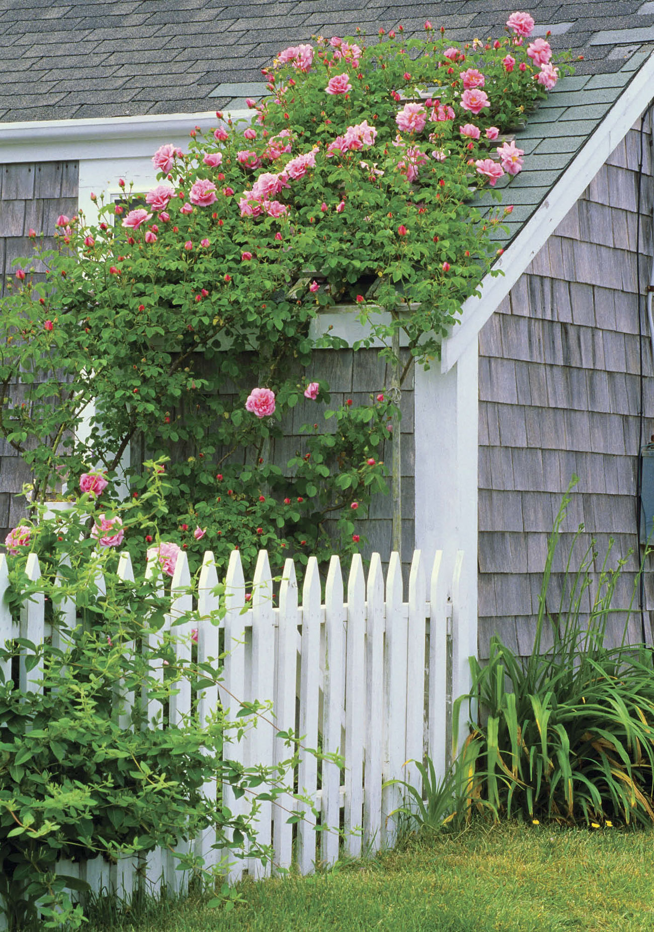 Gray cottage with a white picket fence and climbing pink roses creeping up the side of the home.